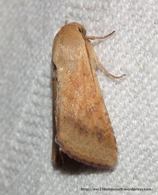 F. Noctuidae, SF Heliothinae, Helicoverpa armigera?