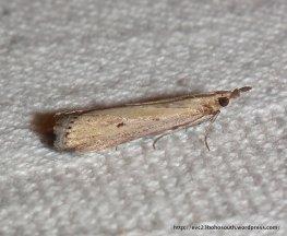 Family Crambidae SF Crambinae: Calamotropha sp?