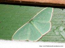 Double-fringed Emerald (Chlorocoma dichloraria)