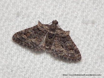 Phrysigonas laticostata male