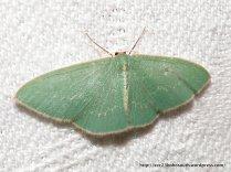Double-fringed Emerald (Chlorocoma dichloraria)?