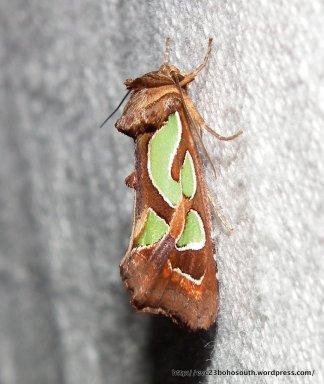 Green Blotched Moth, Cosmodes elegans.