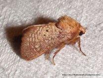 Doratifera quadriguttata male (Walker, 1855) Family: Limacodidae