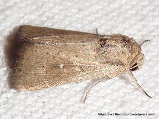 Leucania venalba (Noctuidae, Hadeninae) (ID P. Marriott)