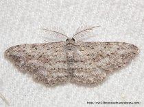 Phelotis cognata (ID P. Marriott)