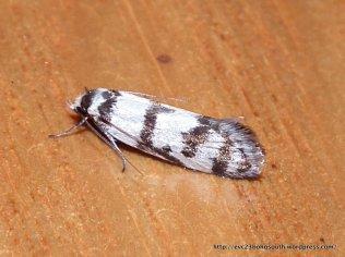 Philobota impletella (OECOPHORIDAE, OECOPHORINAE) (ID P. Marriott)