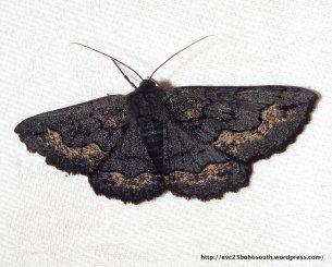 Male Black Geometrid, Melanodes anthracitaria