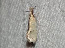 Thema psammoxantha/chlorochyta, Fam. Oecophoridae.