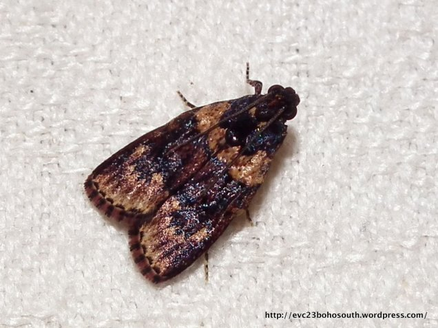 Araeopaschia sp. (EPIPASCHIINAE, PYRALIDAE) (ID P. Marriott)