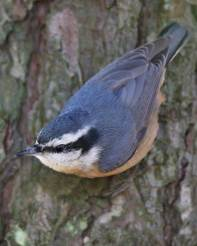 red-breasted_nuthatch_c27-7-431_l_1