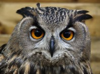 female_eurasian_eagle_owl_by_cycoze