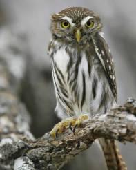ferruginous_pygmy-owl_s52-13-196_l