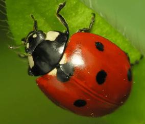 ladybug-facts-for-kids