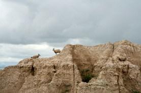 Mountain Goats Badlands National Park, South Dakota © Eve Bernhard. May, 2013