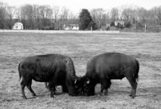 Long Hollow Bison Farm Hadley, Massachusetts © Eve Bernhard. January, 2012