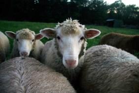 Lambs of Apple Pond Farm Callicoon Center, New York © Eve Bernhard. August, 2012