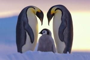 pinguinosEmperador