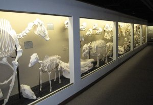 Museum_of_osteology_ungulate_exhibits