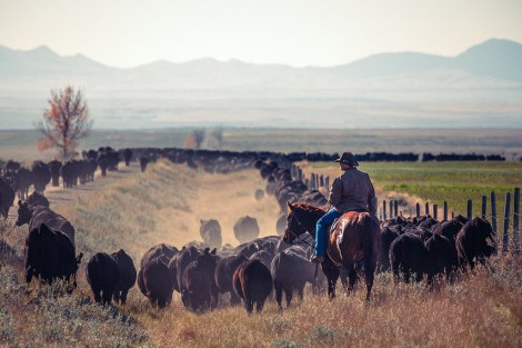 A cowboy trailing a herd of black Angus cattle while driving cattle down a quiet country road near Chinook, Montana.