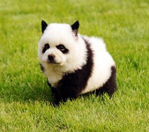 panda dog (2)