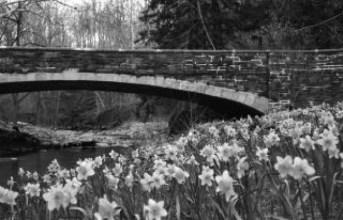 daffodilsbandw