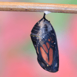 Monarch Chrysalis ready to emerge at 12 days