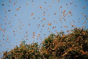 Monarch Butterflies taking flight.