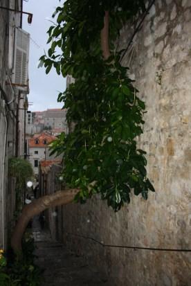 Et oliventræ som finder sin vej op til lyset