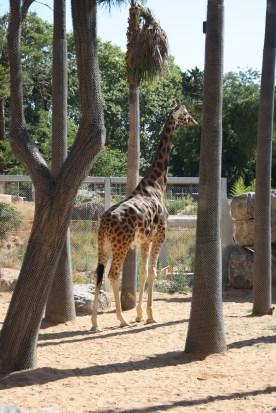 Kordofangiraf i Barcelona Zoo