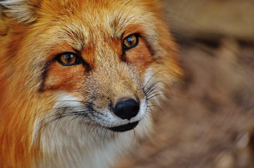 Krafttier Fuchs
