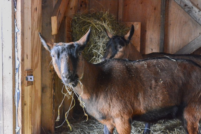 20150102_animals_goats_006_blogcopy