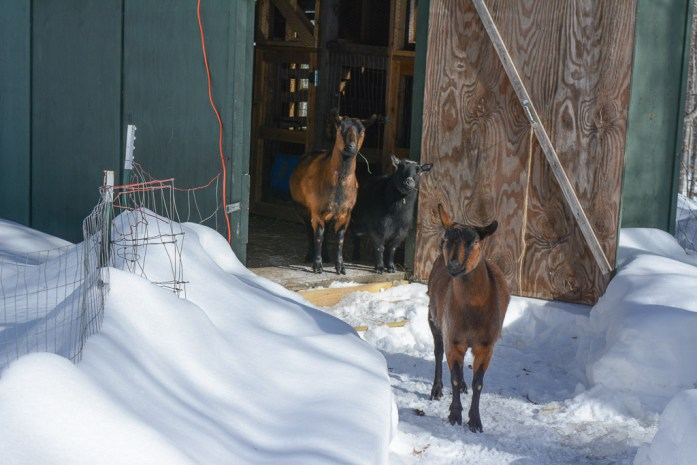 20150211_animals_goats_005_small