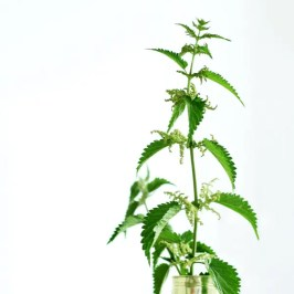 Nettle plant growing in aluminum can.