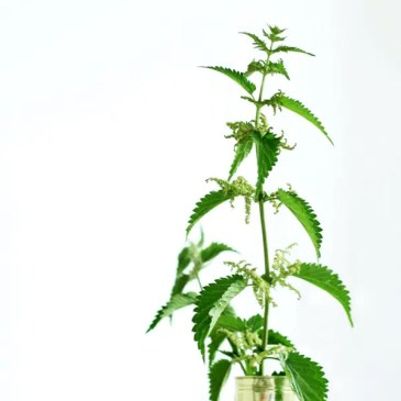 DIY nettle infusion
