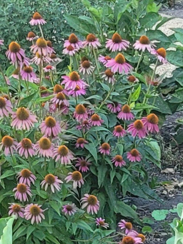 Echinacea: The Herbal Diplomat