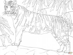Tiger Coloring Pages Printable 42681