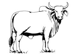 Cow Coloring Pages Free Printable Huge Male Cow with Horns