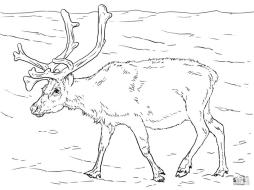 Deer Coloring Pages Realistic Deer Drawing for Adults