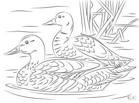 Duck Coloring Pages Duck Couple Swimming