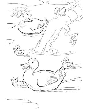 Duck Coloring Pages Duck Family in a Pond