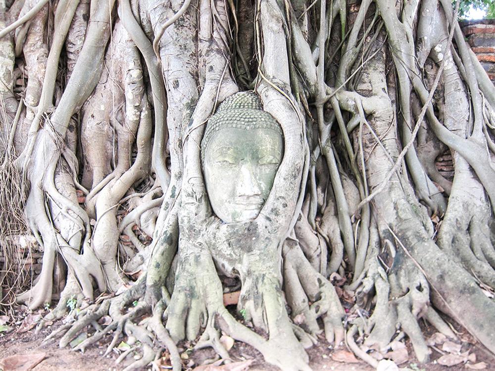 Buddhist head growing in tree roots in Thailand