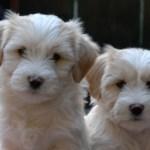 two TT pups