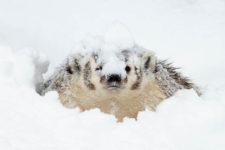 EllenNelson Badger Peek-CaptiveRCwinner0519