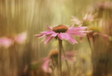 KSnead Coneflower-Dream 2R0619