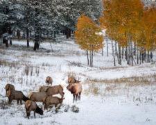 -Leslee Hample - Fall Elk