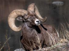 Donna-Dannen Big-horn-sheep