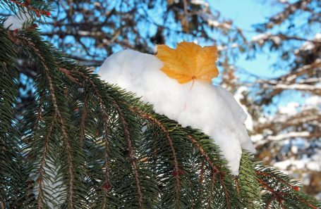 leaf on snow covered branch