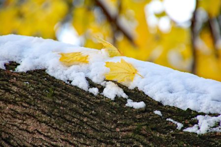 yellow leaves on branch after first snow fall of the year