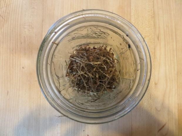 cut echinacea roots