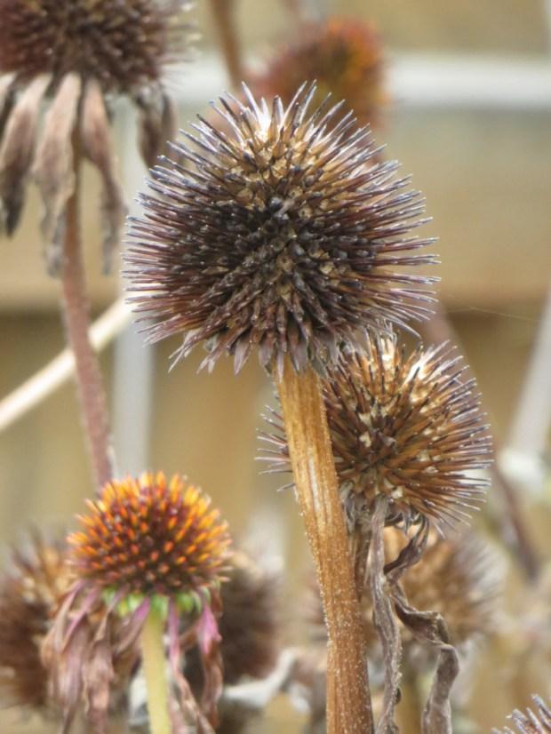 echinacea seed head3